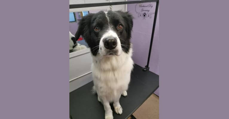 Photo of Oliver, a Border Collie, Australian Shepherd, and Australian Cattle Dog mix in England, United Kingdom