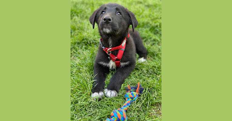 Photo of Oakley, a Labrador Retriever, Great Pyrenees, Border Collie, and Mixed mix in Chesapeake, Virginia, USA