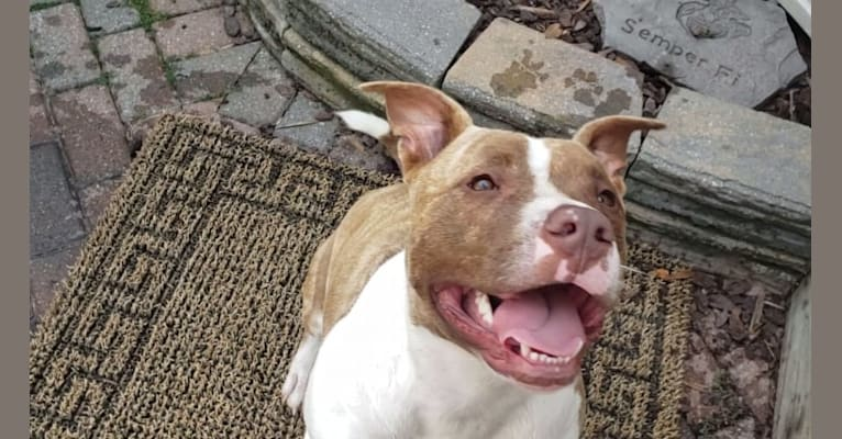Photo of GUNNER, an American Bully  in South Carolina, USA
