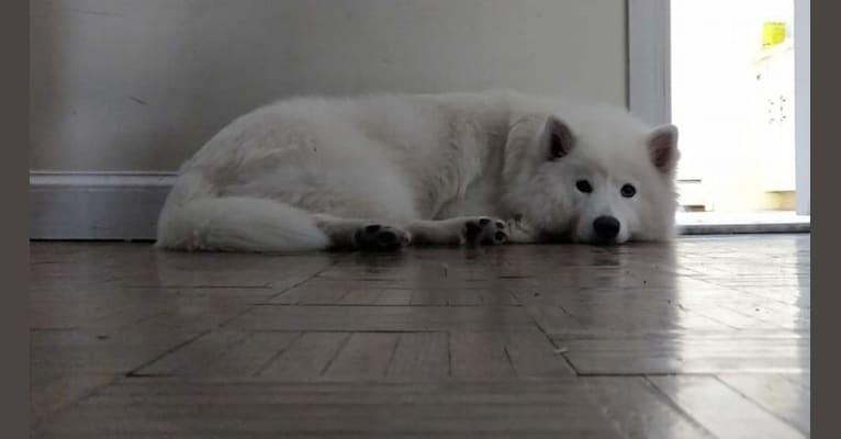 Photo of Navi, a Samoyed  in Massachusetts, USA