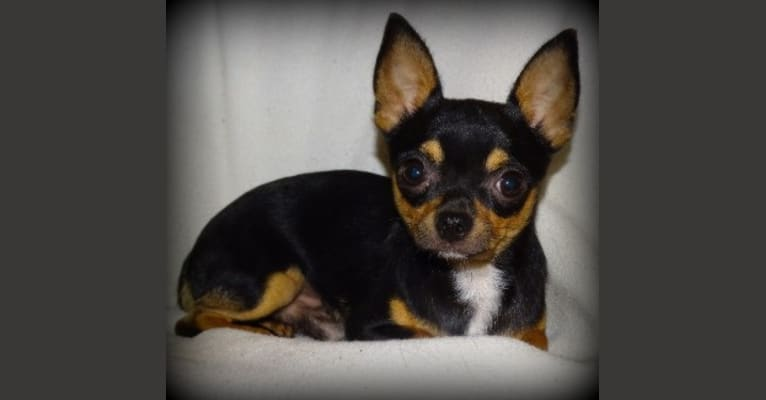 Photo of Queso, a Chihuahua
