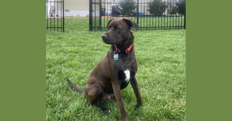 Photo of NEVILLE, an American Pit Bull Terrier, Plott, and Mixed mix in North Carolina, USA