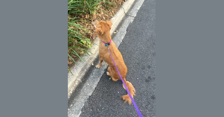 Photo of Katie Bug, an American Pit Bull Terrier, Cocker Spaniel, Golden Retriever, Chow Chow, and Boxer mix in Tallahassee, Florida, USA