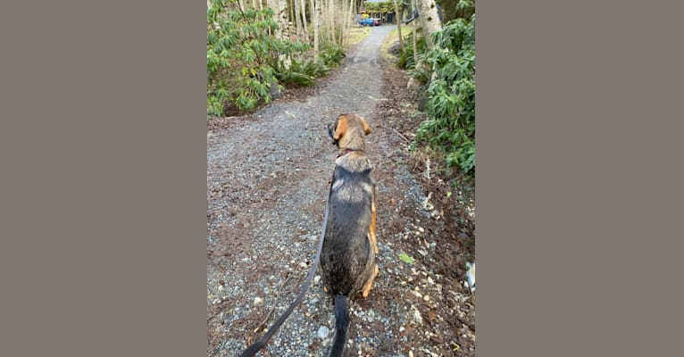 Photo of Poitìn, a Treeing Walker Coonhound, Black and Tan Coonhound, Saint Bernard, Labrador Retriever, and Mixed mix in British Columbia, Canada