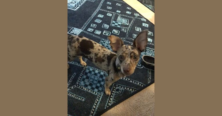 Photo of Dobby, a Chihuahua, Rat Terrier, Dachshund, and Poodle (Small) mix in Browns Valley, California, USA