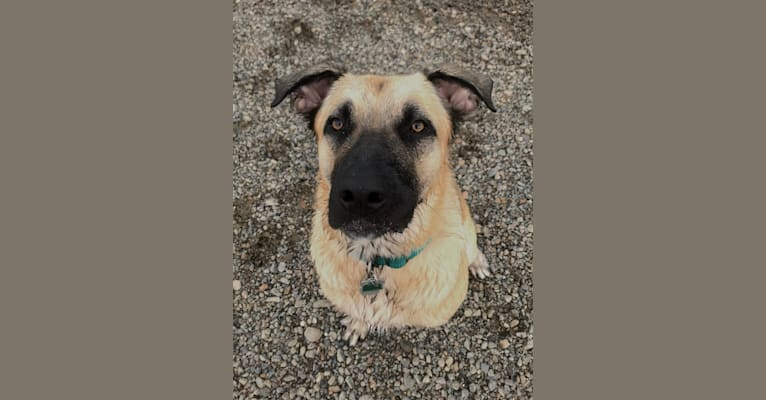Photo of Jocko, an American Pit Bull Terrier, German Shepherd Dog, Boxer, Golden Retriever, and Mixed mix in Houston, TX, USA
