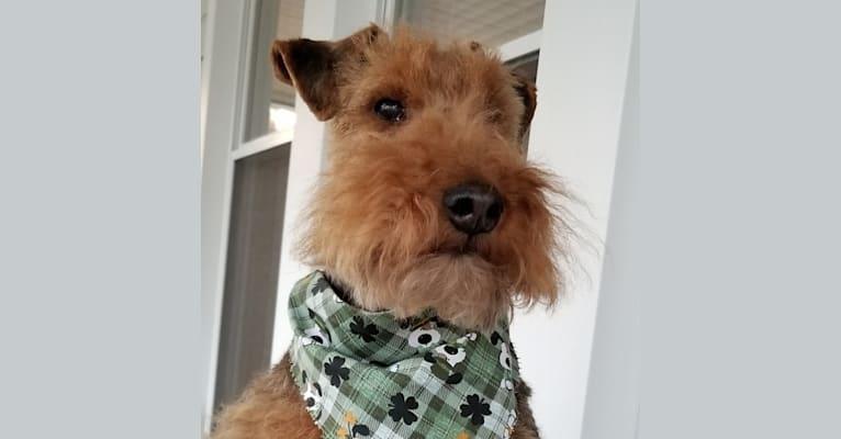 Photo of Bentley, a Welsh Terrier  in Ozark, AR, USA
