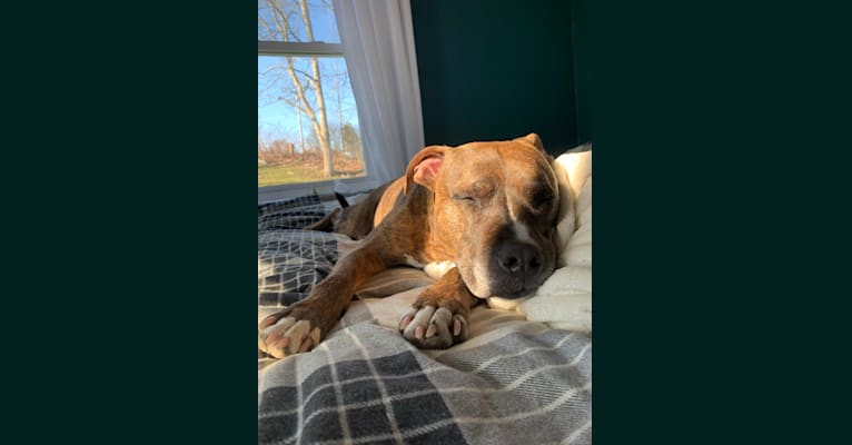 Photo of Dozer, an American Pit Bull Terrier, American Bully, and American Staffordshire Terrier mix in Portsmouth, Rhode Island, USA