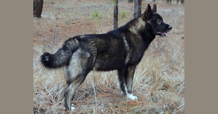Photo of Stanley, a German Shepherd Dog, Alaskan Malamute, and Irish Wolfhound mix in DireWolf Dogs of Vallecito, LLC, Washington 25, Fruitland, WA, USA