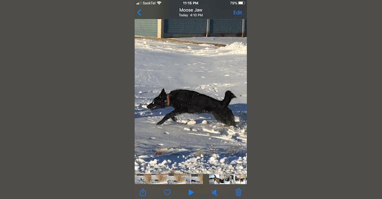 Photo of BossDog Got Your Six, a German Shepherd Dog  in Moose Jaw, Saskatchewan, Canada