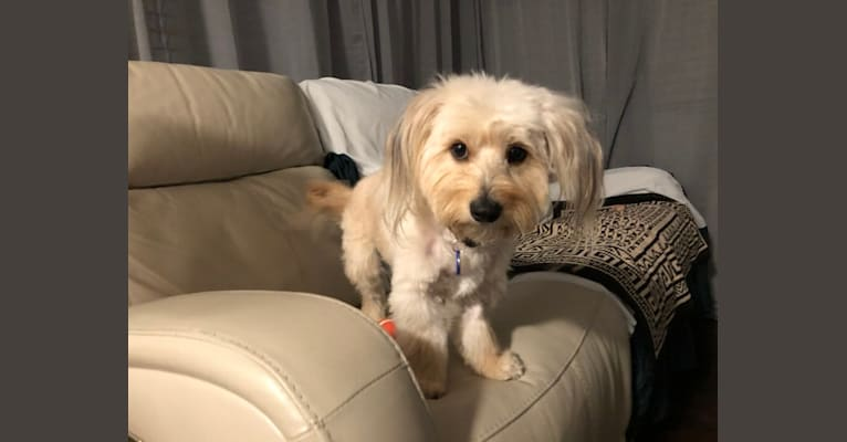Photo of Noodle, a Poodle (Small), Chihuahua, Cocker Spaniel, and Miniature Pinscher mix