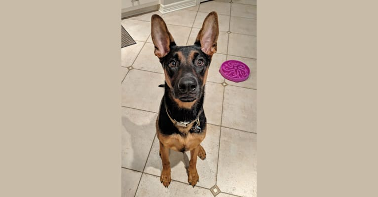 Photo of Nova, a German Shepherd Dog, Doberman Pinscher, and Rottweiler mix in Austin, Texas, USA