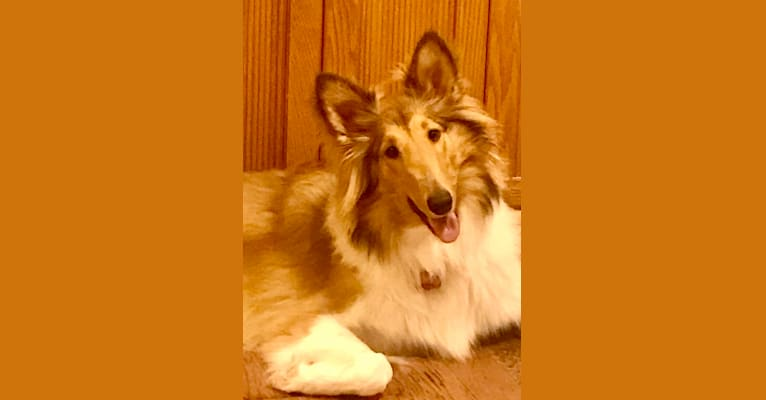Photo of Scotch, a Collie  in Arlington, Texas, USA