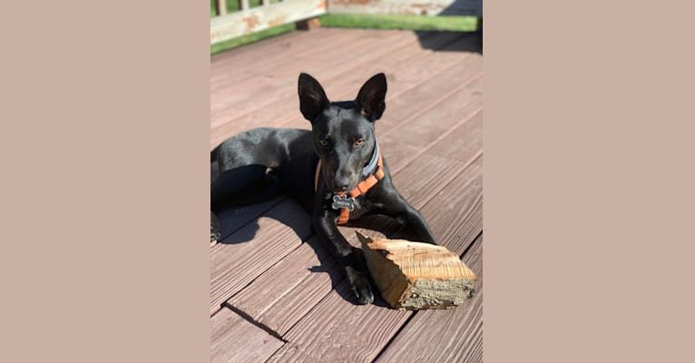 Photo of Westin, an Australian Cattle Dog, American Pit Bull Terrier, Labrador Retriever, and Mixed mix in Alabama, USA
