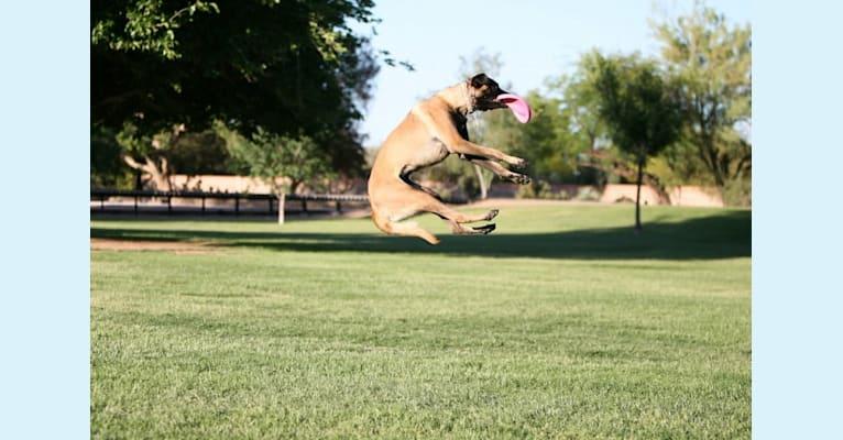 Photo of Halo, a Belgian Shepherd  in Rialto, California, USA