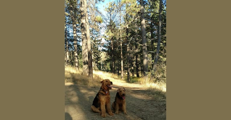 Photo of Kratos, an Airedale Terrier  in ranch near Tule Springs, AZ, USA