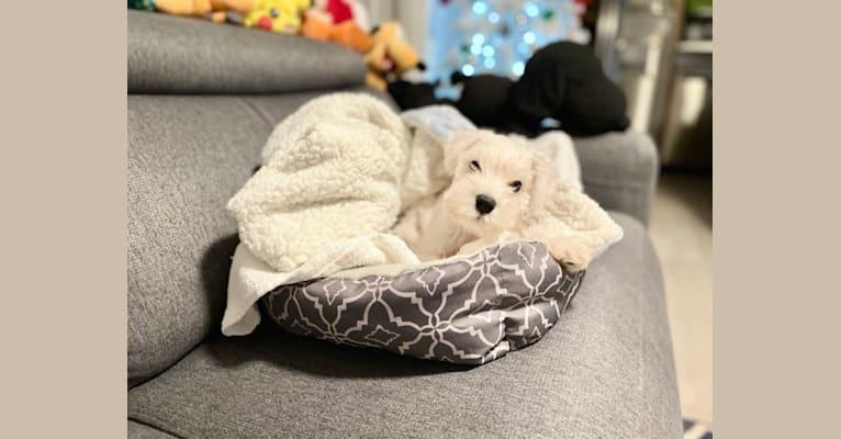 Photo of Teddy, a Miniature Schnauzer  in Hayward, California, USA