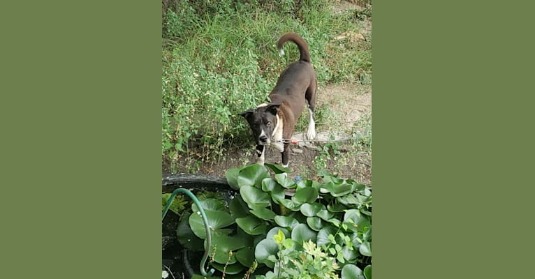 Photo of Moose, an American Pit Bull Terrier, Siberian Husky, American Staffordshire Terrier, and Alaskan Malamute mix in Sparrows Point, Maryland, USA