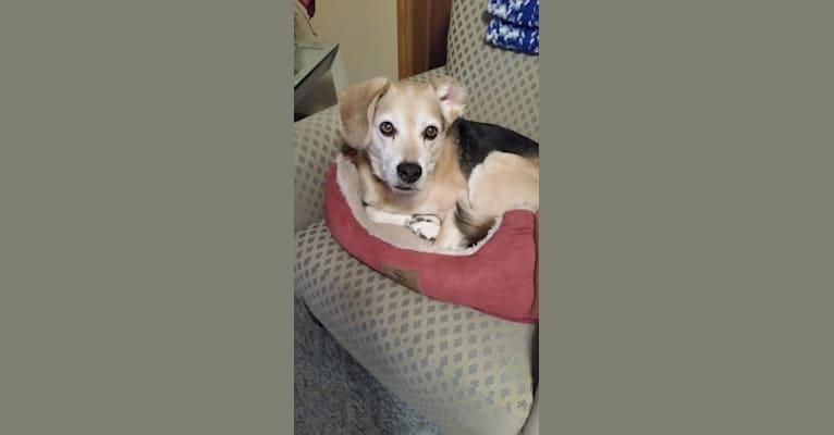 Photo of Riley, a Beagle, Labrador Retriever, and Australian Shepherd mix in St Paul, Minnesota, USA
