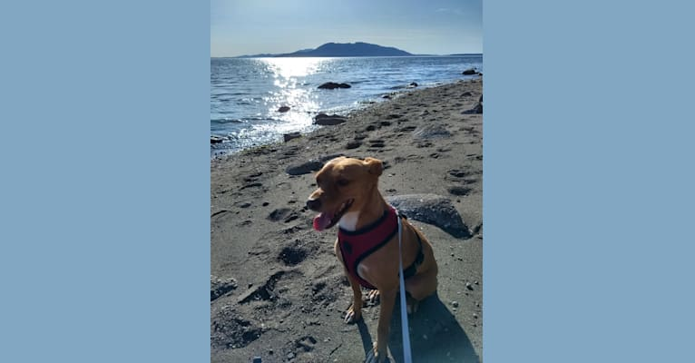 Photo of Chucho, a Pomeranian, Miniature Pinscher, American Pit Bull Terrier, Russell-type Terrier, and Mixed mix in Bellingham, Washington, USA