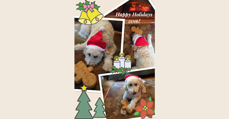 Photo of Maggie Mae, a Goldendoodle  in Floral City, FL, USA