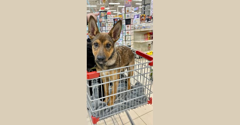 Photo of Alemã, a German Shepherd Dog, Australian Cattle Dog, and Border Collie mix in Gibbons, AB, Canada