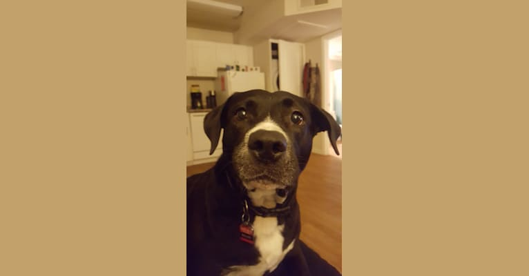 Photo of Dallas, an American Pit Bull Terrier, American Staffordshire Terrier, and German Shepherd Dog mix