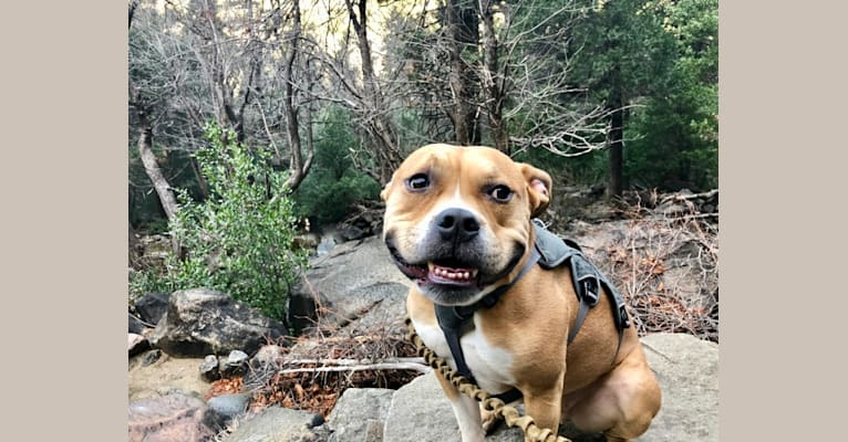 Photo of Chief, an American Bully  in Riverside, California, USA