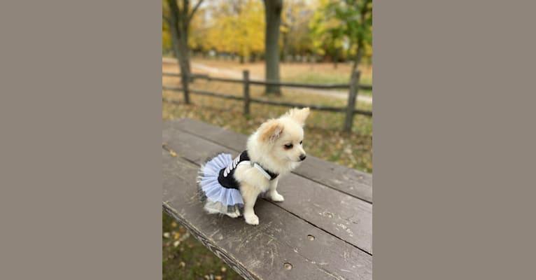 Photo of Lilith, a Pomeranian  in Ukraine