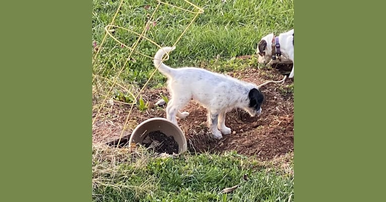 Photo of Sherlock Bones, an Australian Cattle Dog, Poodle (Standard), and Old English Sheepdog mix in Reva, VA, USA