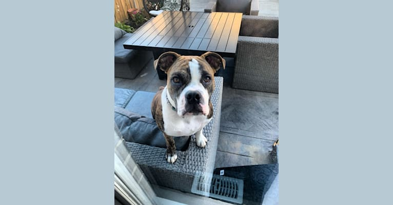 Photo of Leo Phan, a Bulldog, Boston Terrier, Pug, and Beagle mix in Mitchell, ON, Canada