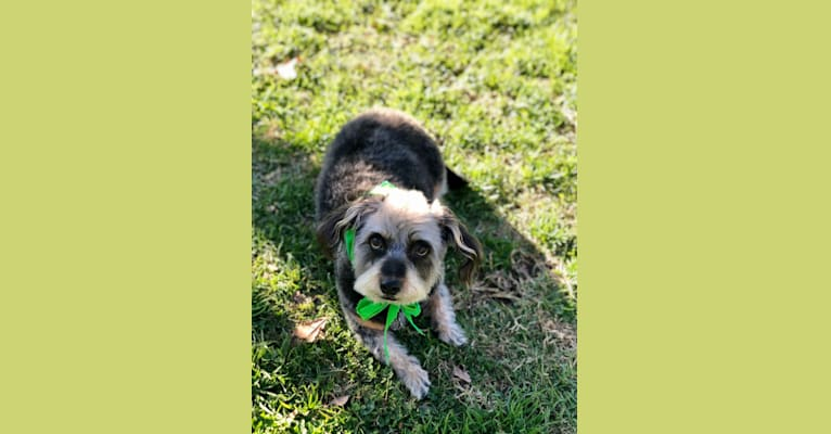 Photo of Chuck Biscuits, a Chihuahua, Poodle (Small), Dachshund, and Mixed mix in Los Angeles, California, USA