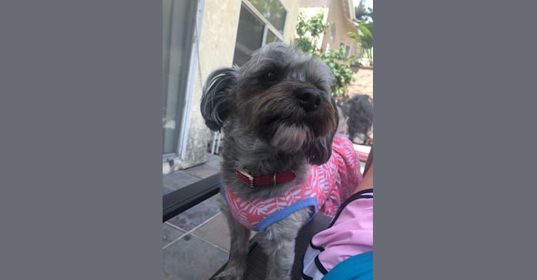 Photo of Lucy, a Yorkshire Terrier and Poodle (Small) mix in La Mirada, California, USA