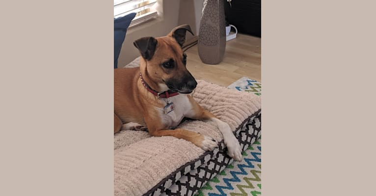 Photo of Eddie, a Chihuahua, Russell-type Terrier, Australian Cattle Dog, Border Collie, American Pit Bull Terrier, and Mixed mix in Western Australia, Australia