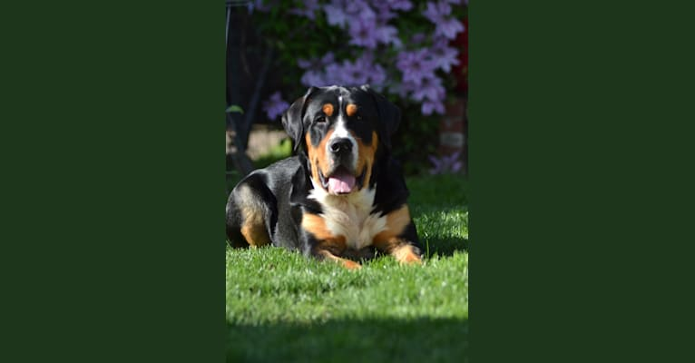 Photo of Atticus Our Champions, a Greater Swiss Mountain Dog