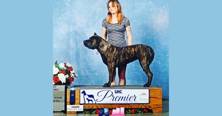 Photo of Tess, a Perro de Presa Canario