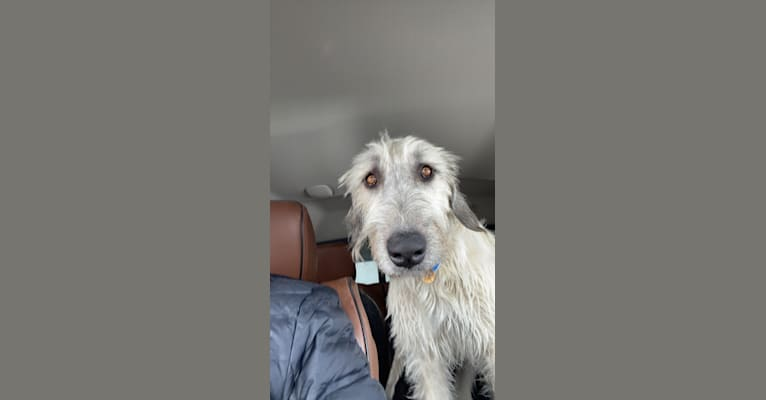 Photo of LouLou, an Irish Wolfhound  in Riverton, Wyoming, USA