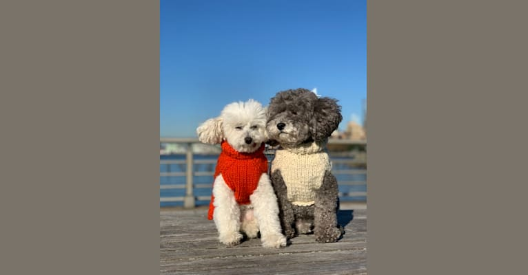 Photo of Roger, a Poodle (Small)  in Indiana, USA