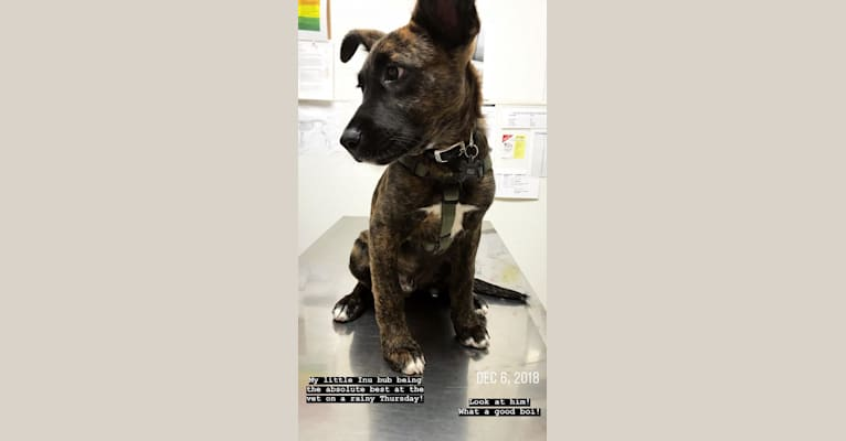 Photo of INU, an American Pit Bull Terrier, German Shepherd Dog, Labrador Retriever, and Mixed mix in San Bernardino, California, USA