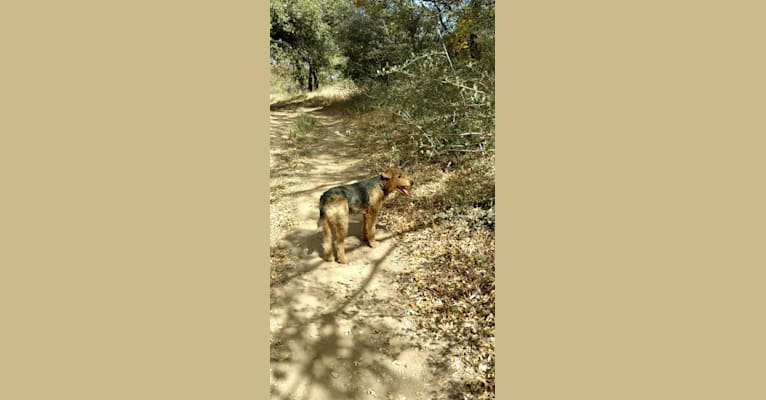 Photo of Sasha, an Airedale Terrier  in ranch near Tule Springs, AZ, USA