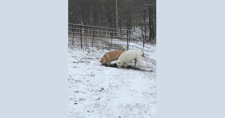 Photo of Dixie, a Carolina Dog  in South Carolina, USA