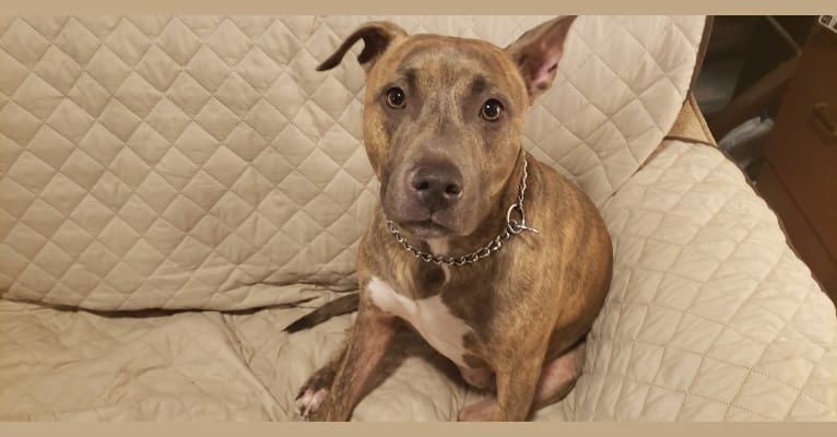 Photo of Kai, an American Staffordshire Terrier  in Wailuku, Hawaii, USA