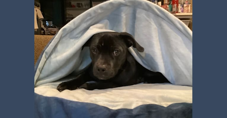 Photo of Comet, fka Cole, a Chihuahua, American Pit Bull Terrier, and Mixed mix in California, USA