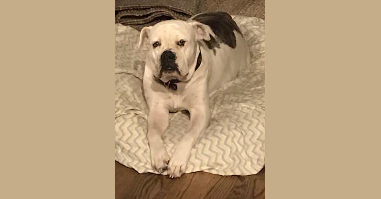 Photo of Lucy, an Olde English Bulldogge  in Big Island, Hawaii, USA