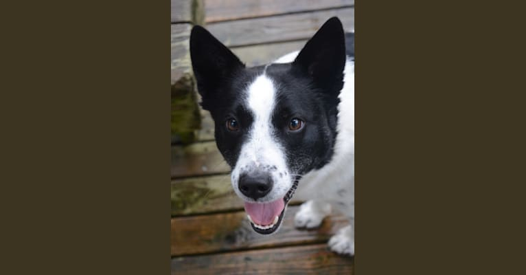 Photo of Teddy, an Australian Cattle Dog, Border Collie, Alaskan Malamute, Australian Shepherd, German Shepherd Dog, and Mixed mix in Warm Springs, Oregon, USA