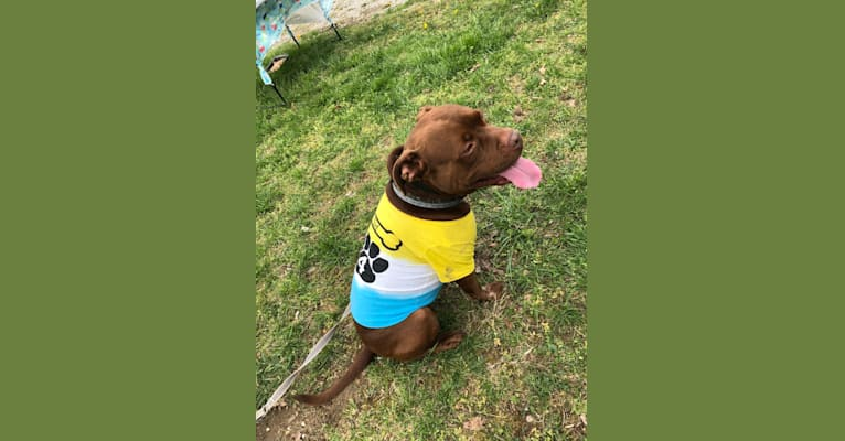 Photo of Sid, an American Pit Bull Terrier, Boxer, and American Staffordshire Terrier mix in Tennessee, USA