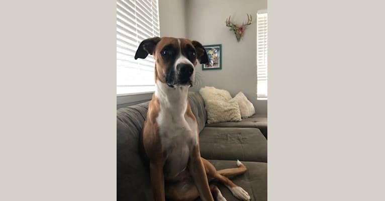 Photo of Ripley, a Boxer, German Shepherd Dog, and Dalmatian mix in Fallbrook, California, USA