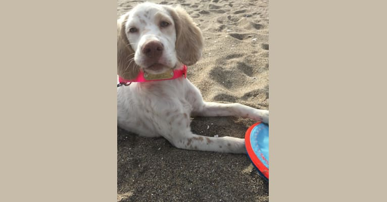 Photo of molly, a Llewellin Setter  in Alton, NH, USA
