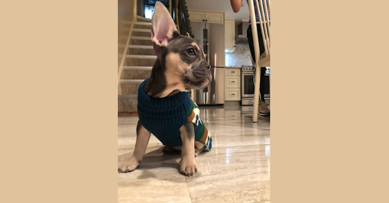 Photo of Bruce, a French Bulldog  in New York, USA