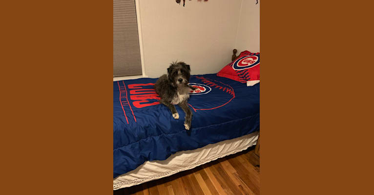 Photo of Simon, a Poodle (Small), American Pit Bull Terrier, Boxer, American Staffordshire Terrier, and Mixed mix in Las Cruces, New Mexico, USA